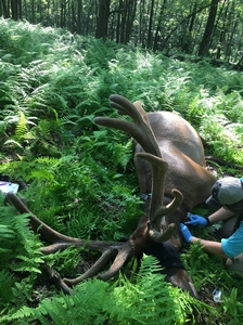 Avery Corondi, PGC Assistant Elk Biologist collects blood samples from the bull elk during the collaring process.